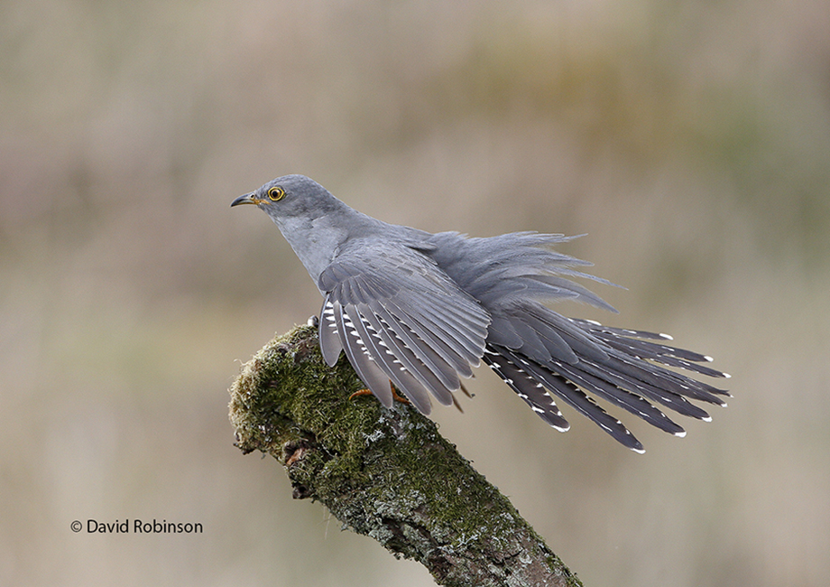 Cuckoo wing stretching