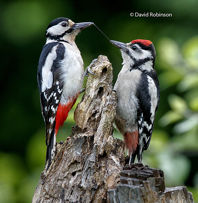 Great Spotted Woodpecker feeding Juvenial