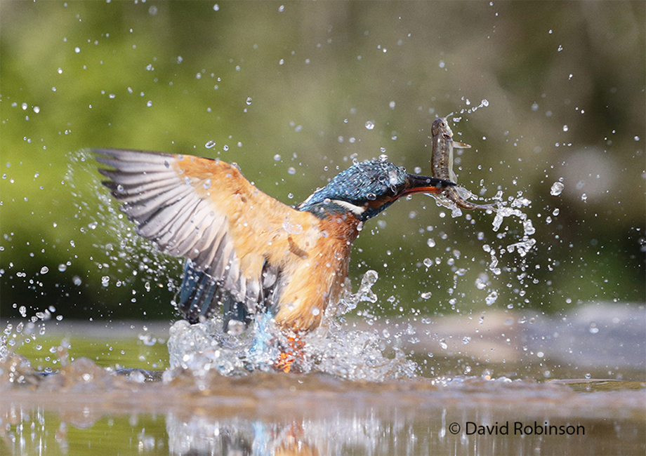 Kingfisher-action