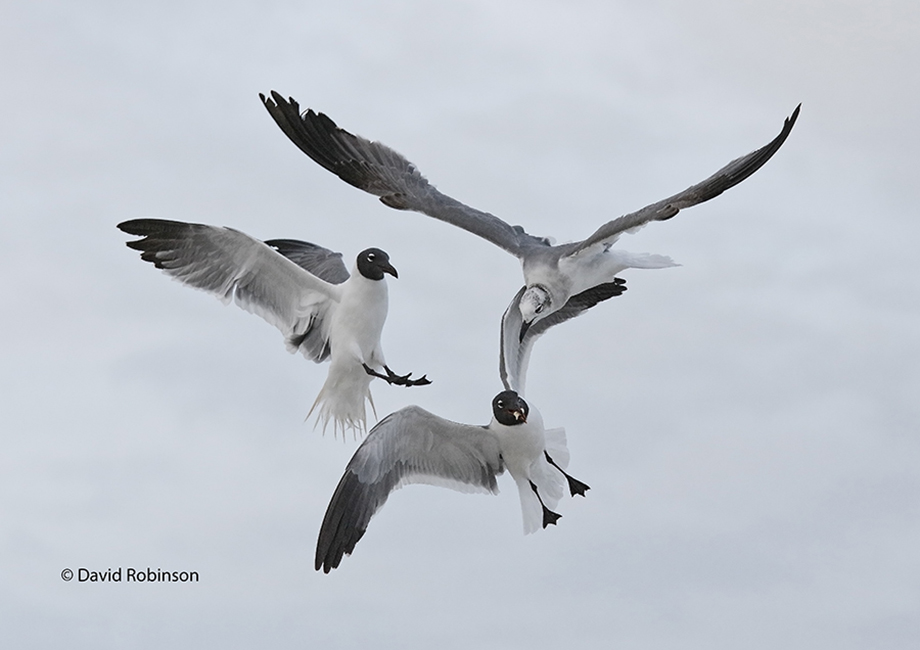 Laughing-Gulls-agression